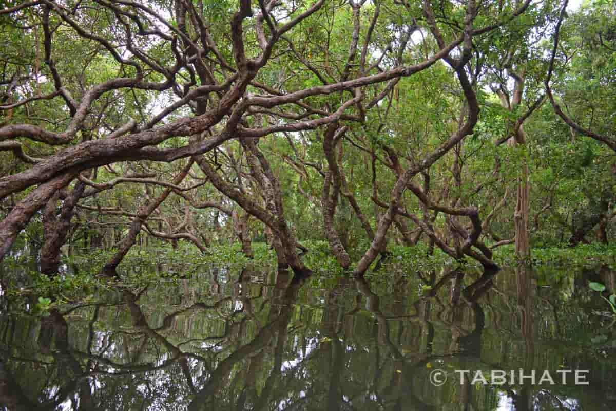 マングローブ林